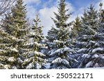 Snow Covered Evergreen Trees...