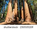 giant sequoia trees in sequoia... | Shutterstock . vector #250535209