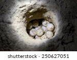 Green Sea Turtle Eggs In Sand...
