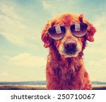 Stock photo a cute golden retriever toned with a retro vintage instagram filter with sunglasses on 250710067