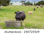 Cow Drinking From Water Trough