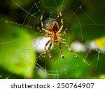 Spider On Spider Web After Rain
