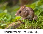 Wild wood mouse resting on a...