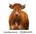 Happy Brown Cow Portrait. A...