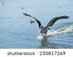 Pelican Is Landing On Water