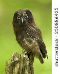 Small photo of The boreal owl (Aegolius funereus) - young