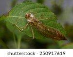 empty dragonfly larva | Shutterstock . vector #250917619
