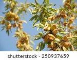 Almond Tree At The Harvest Tim...