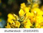 Beautiful Yellow Flowers Ulex...