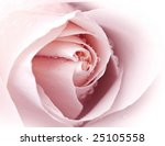 close up of pink rose | Shutterstock . vector #25105558