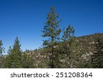 Pine Tree Tops Above The Forest ...