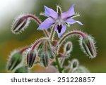 borage flowers  borago... | Shutterstock . vector #251228857