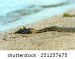 Small photo of Water snake with the entrapment of fish on the shore of the pond