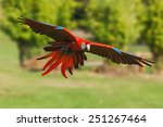 scarlet macaw coming in to land.... | Shutterstock . vector #251267464