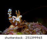 Small photo of A very tiny Squat Shrimp (Thor amboinensis) resides under the protection of an anemone in Guam's Apra Harbor. portrait orientation