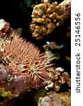 Small photo of crown-of-thorns starfish (acanthaster planci)