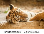 Bengal Tiger Is Sleeping  And...