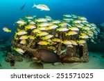 Small photo of Yellow snapper (Lutjanus argentiventris), forming a school in a shipwreck, reefs of Sea of Cortez, Pacific ocean. Cabo Pulmo, Baja California Sur, Mexico. Cousteau named it The world's aquarium.