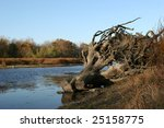 Gnarled Roots Along A Stream