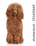 Red Miniature Poodle. Portrait...