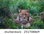 Bobcat Or Lynx Sitting In Tall...