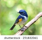 himalayan bluetail or orange... | Shutterstock . vector #251832061