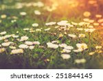 Meadow Daisies Flowers Close U...