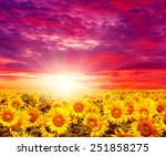 Sunset Landscape At Sunflower...