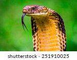 King Cobra  Ophiophagus Hannah...