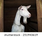 Small photo of Saanen white young goat in barn