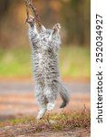 Stock photo little grey kitten playing outdoors 252034927