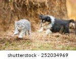 Stock photo rough collie puppy running behind little grey kitten 252034969