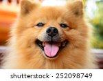 Happy Pomeranian Dog