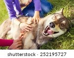 Stock photo siberian husky dog funny portrait looking at camera lying on green grass and playing with two girls 252195727