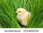Fluffy Chick On Green Grass