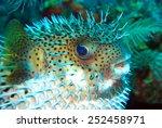 White Belly Blowfish