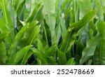 green banana leaf in nature ...   Shutterstock . vector #252478669