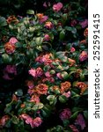 Stock photo pink sear roses on a bush 252591415