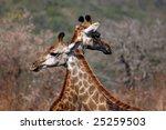 Two Giraffes  Giraffa...