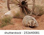 Small photo of American badger (Taxidea taxus) sitting on the dirt ground