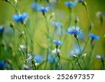Bright Blue Corn Flowers On Th...
