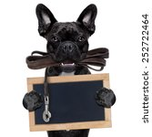 Stock photo french bulldog dog waiting to go for a walk with owner leather leash in mouth holding a blank 252722464