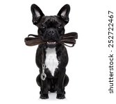 Stock photo french bulldog dog waiting to go for a walk with owner leather leash in mouth isolated on 252722467
