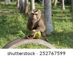 southern pig tailed macaque  ko ... | Shutterstock . vector #252767599