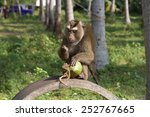 southern pig tailed macaque  ko ... | Shutterstock . vector #252767665