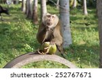 southern pig tailed macaque  ko ... | Shutterstock . vector #252767671