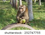 southern pig tailed macaque  ko ... | Shutterstock . vector #252767755