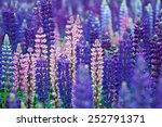 field of lupinus  commonly... | Shutterstock . vector #252791371