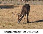 White Tail Deer Eating Grass I...