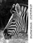 African Zebra Portrait In Blac...